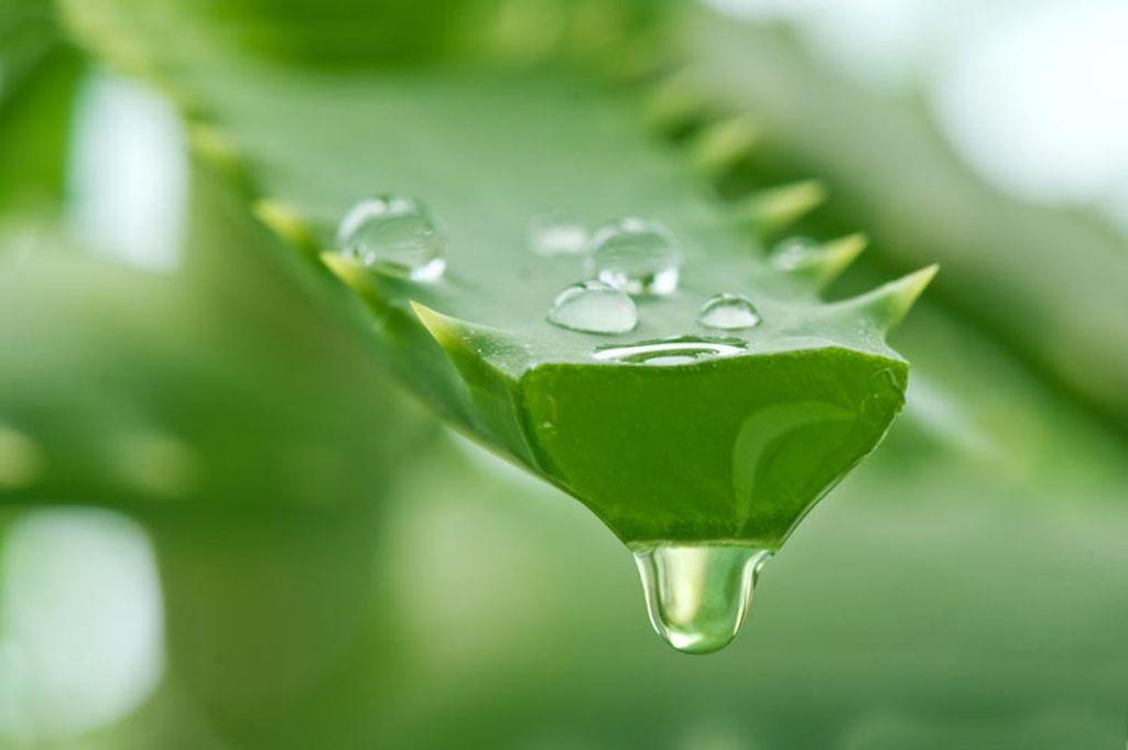 Aloe vera : une plante médicinale qui nous veut plus que dubien
