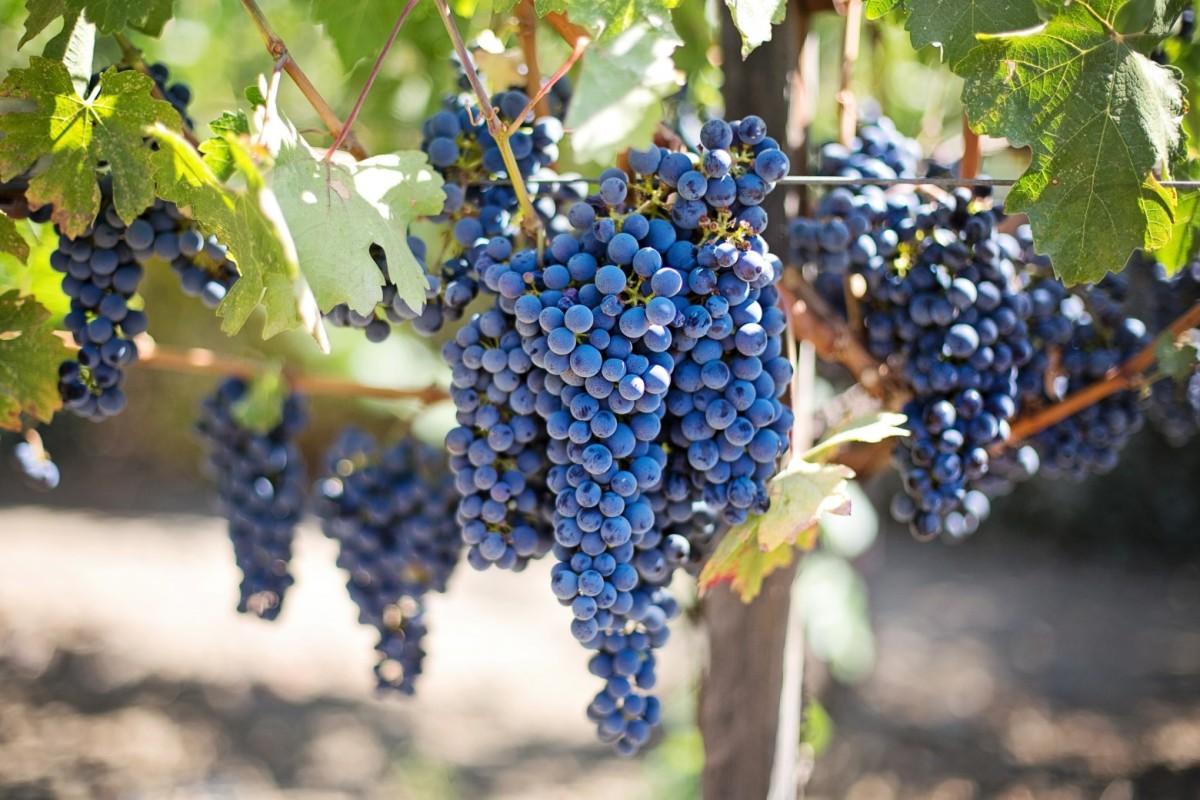 Le raisin : Ses bienfaits et Comment l'utiliser pour un Detox derentrée